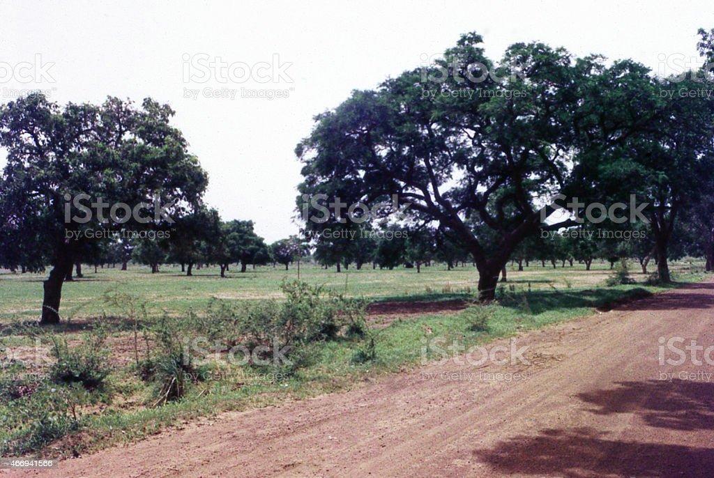 Sudanian Savanna farmland Sheabutter Trees Central Burkina Faso West Africa stock photo