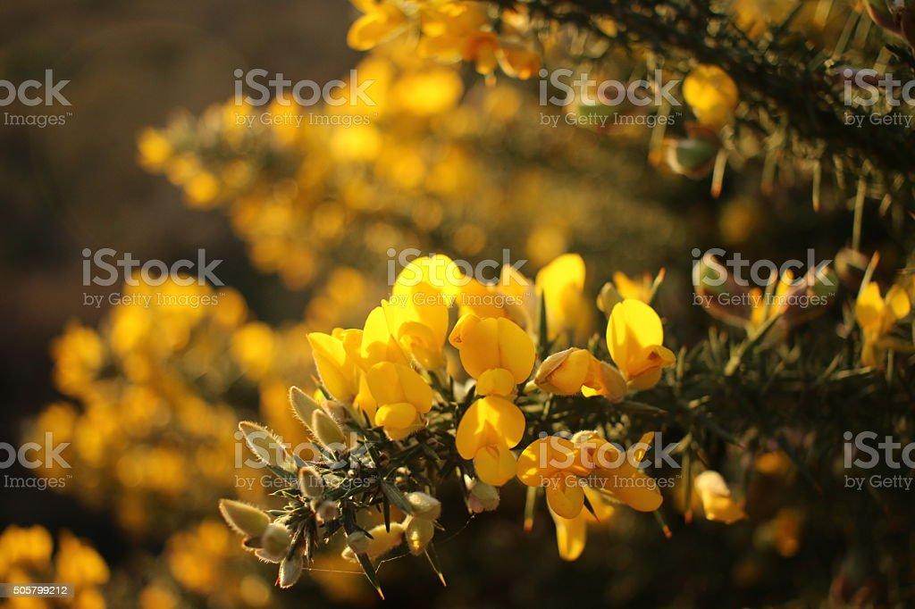 Suffolk in winter, backlit gorse bush at sunset stock photo