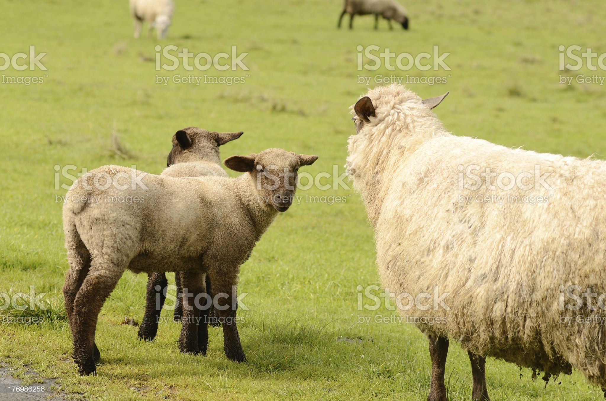 Suffolk Lamb royalty-free stock photo