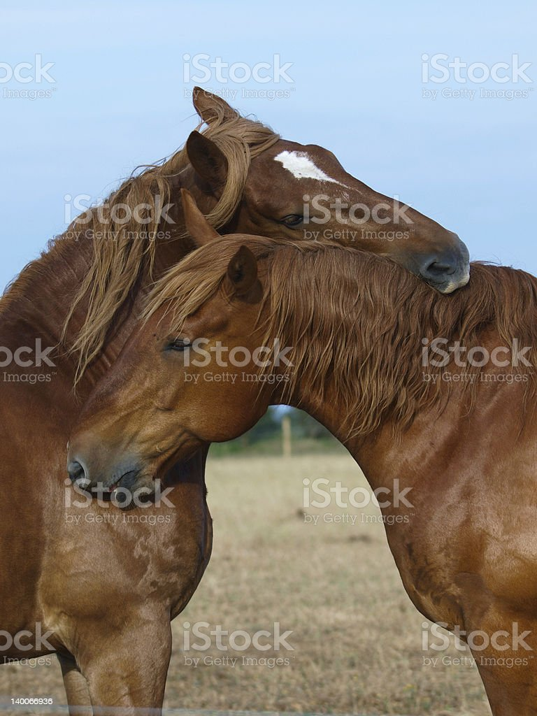 Suffolk Punch Horses Grooming royalty-free stock photo