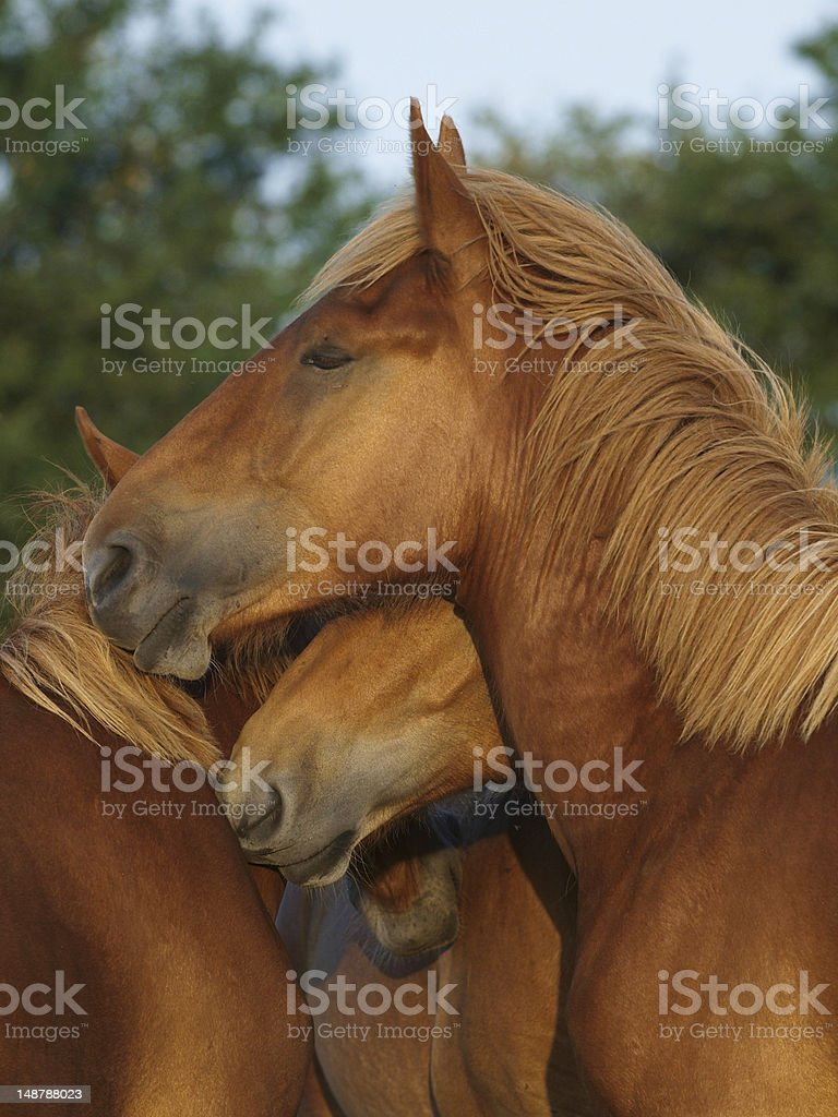 Suffolk Punch Yearlings royalty-free stock photo