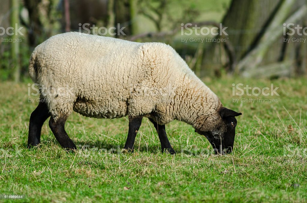 Suffolk sheep eating stock photo