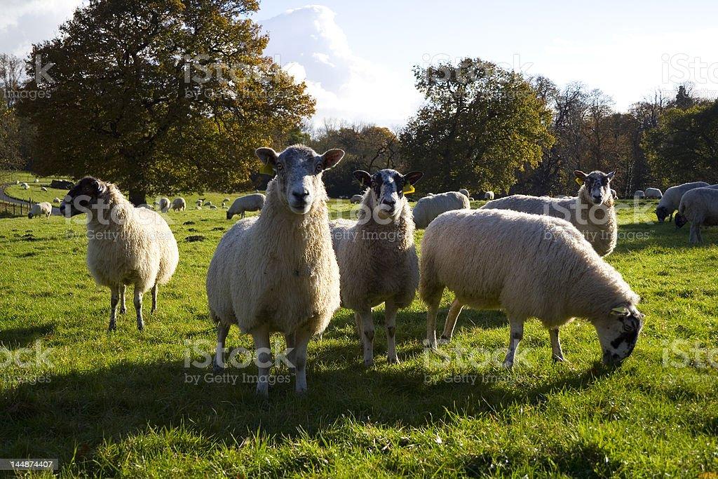 Suffolk Sheep royalty-free stock photo