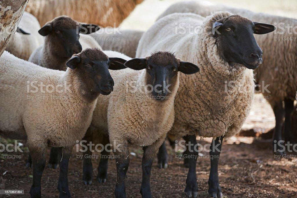 Suffolk sheep stock photo