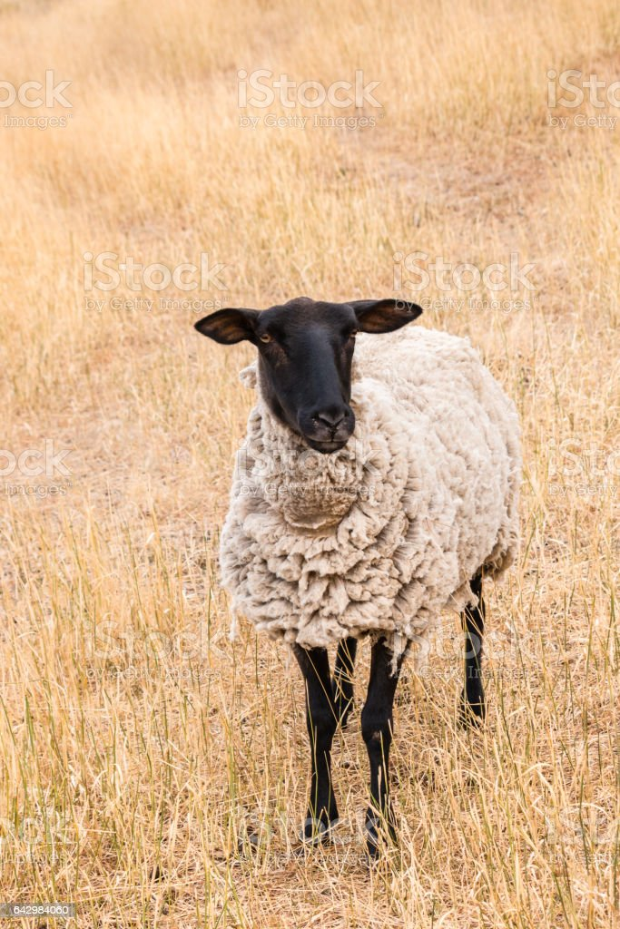 Suffolk sheep standing on parched grass stock photo
