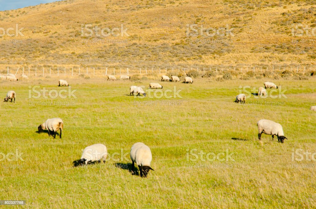 Suffolk Sheep - Tierra Del Fuego - Chile stock photo