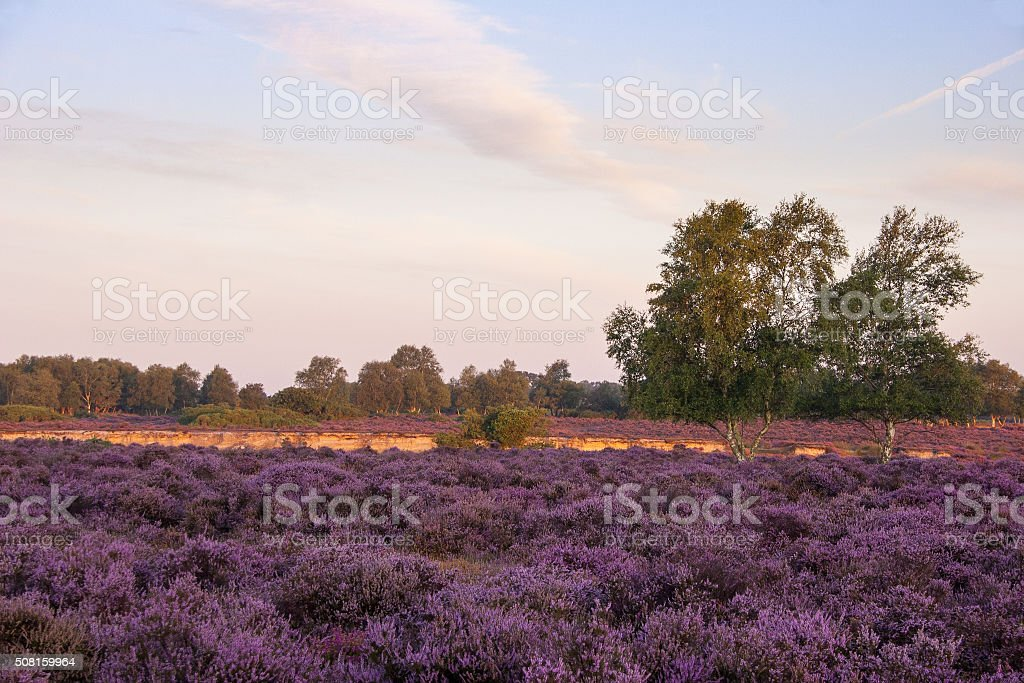 Suffolk sunrise over the heather at Westleton Heath stock photo