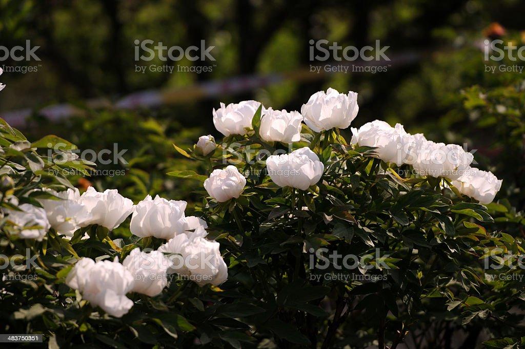 Paeonia suffruticosa stock photo