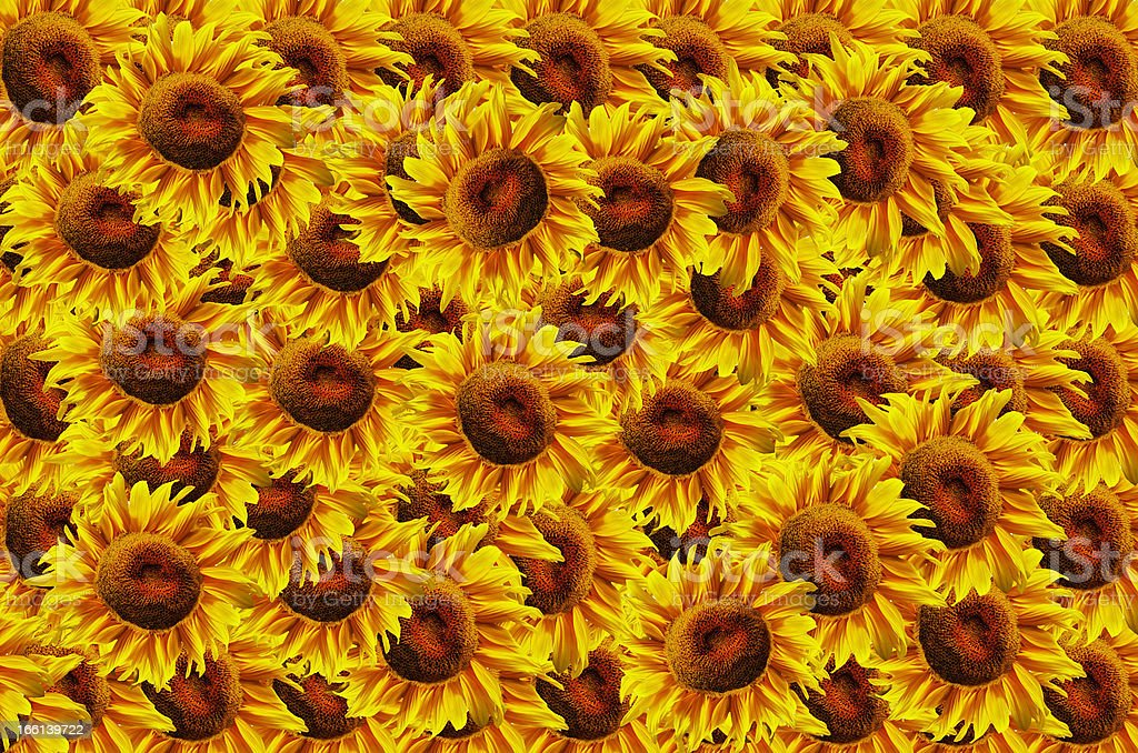 Suflowers background royalty-free stock photo