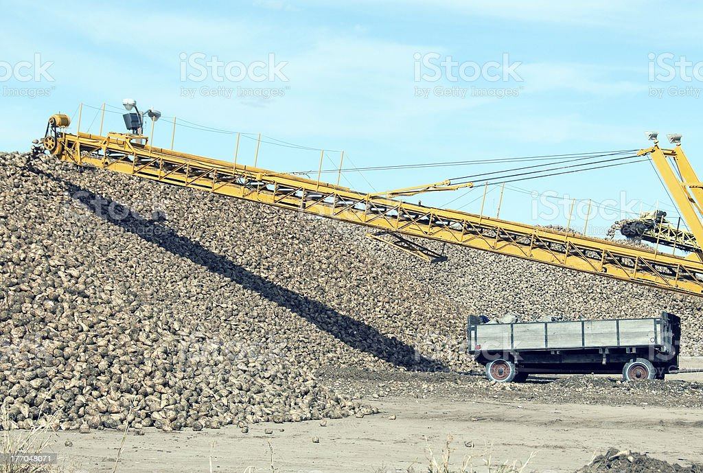 Sugar beet harvest in eastern Montana royalty-free stock photo
