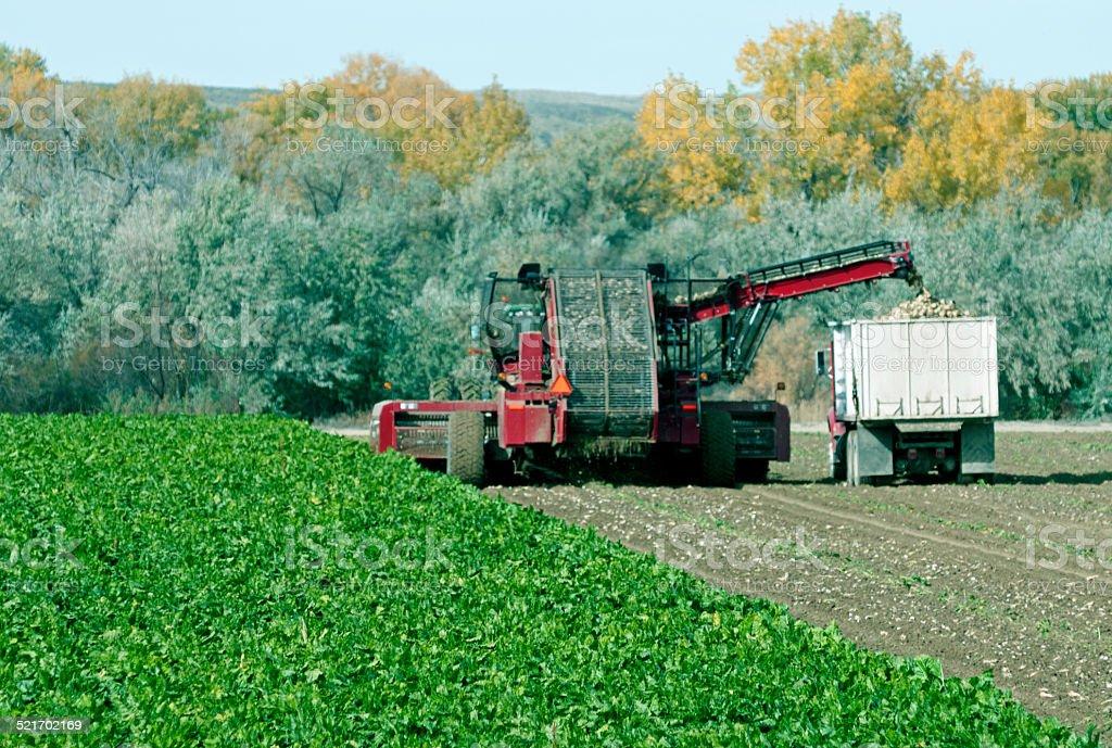 Sugar beet harvest in northern Wyoming stock photo
