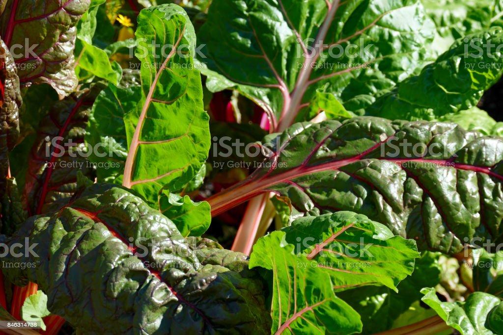 Sugar beet leaves stock photo