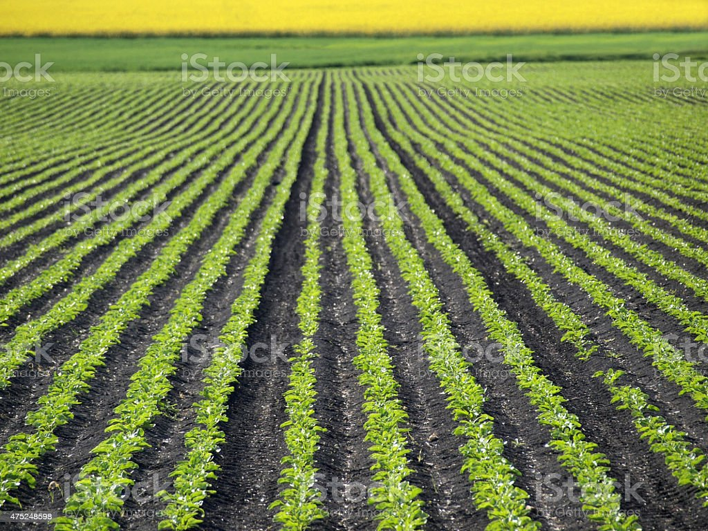 Sugar Beet on the Field stock photo