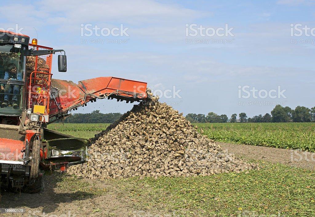 Sugar beet royalty-free stock photo