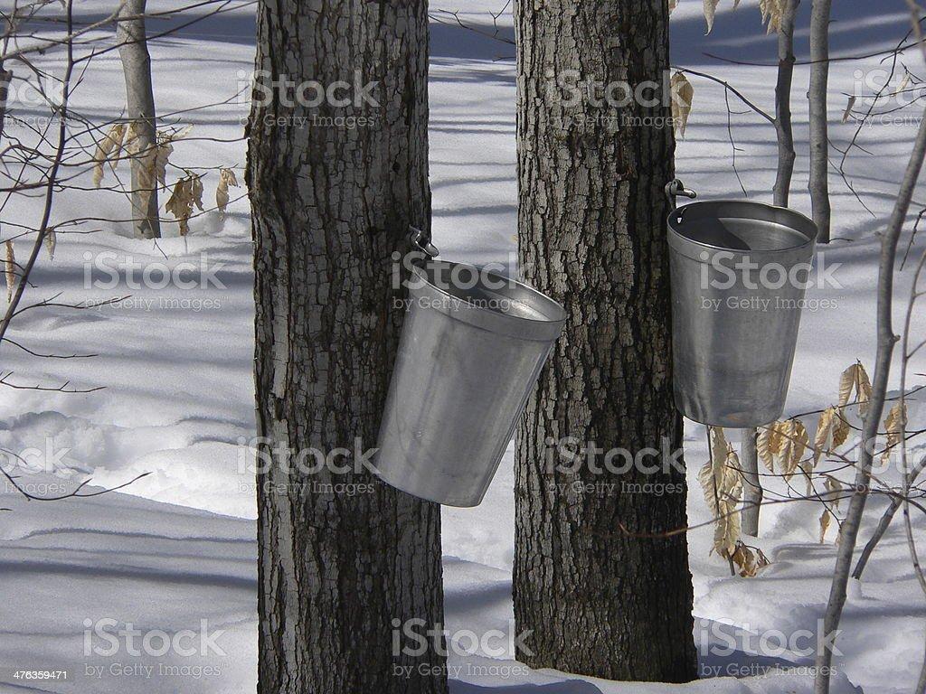 Sugar Bush stock photo