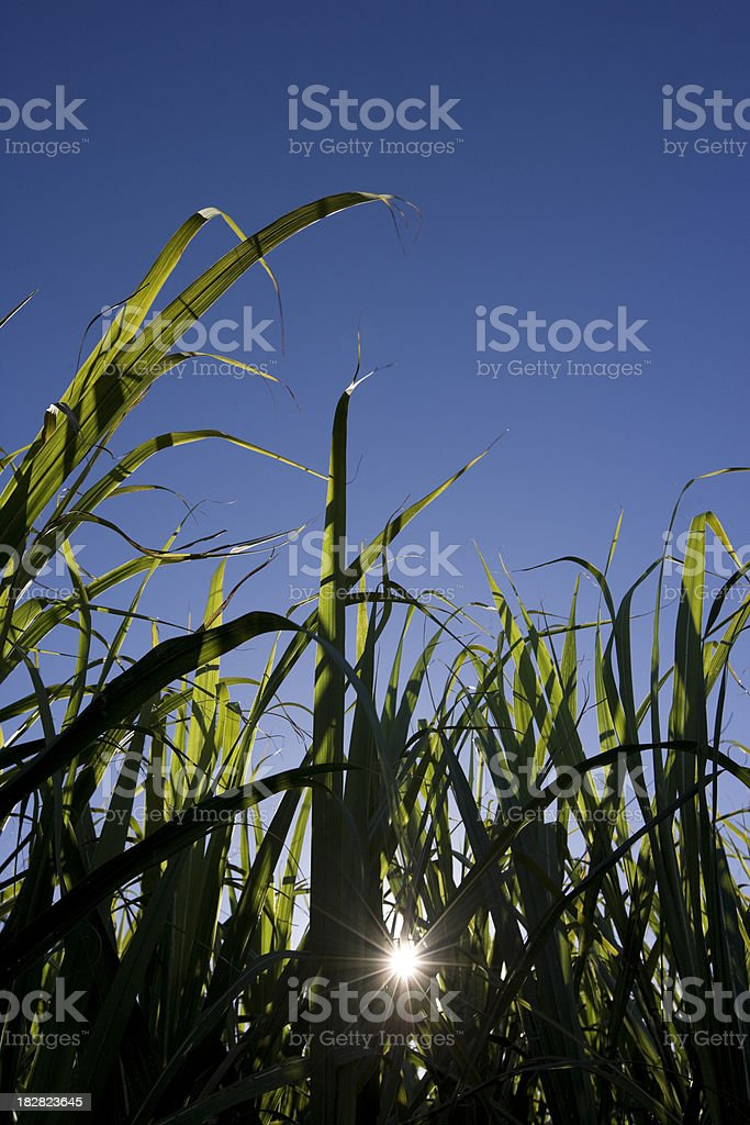 Sugar Cane Afternoon stock photo