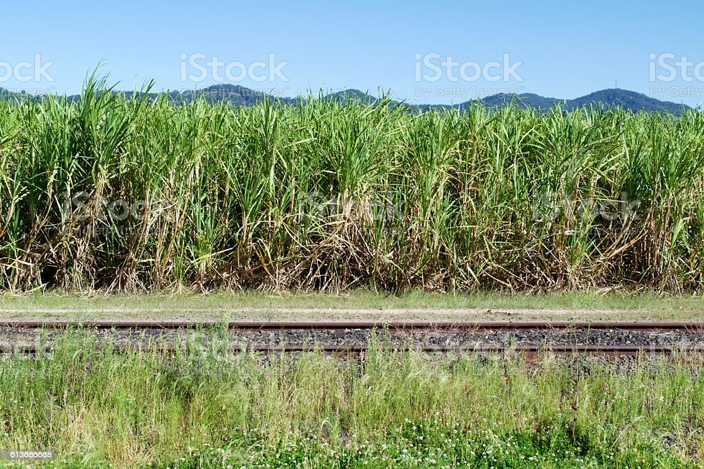 Sugar cane and railway track stock photo
