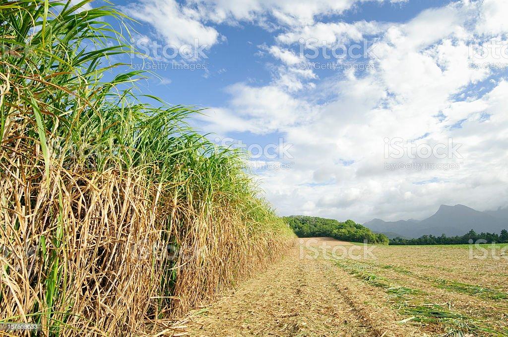 Sugar Cane at Harvest stock photo
