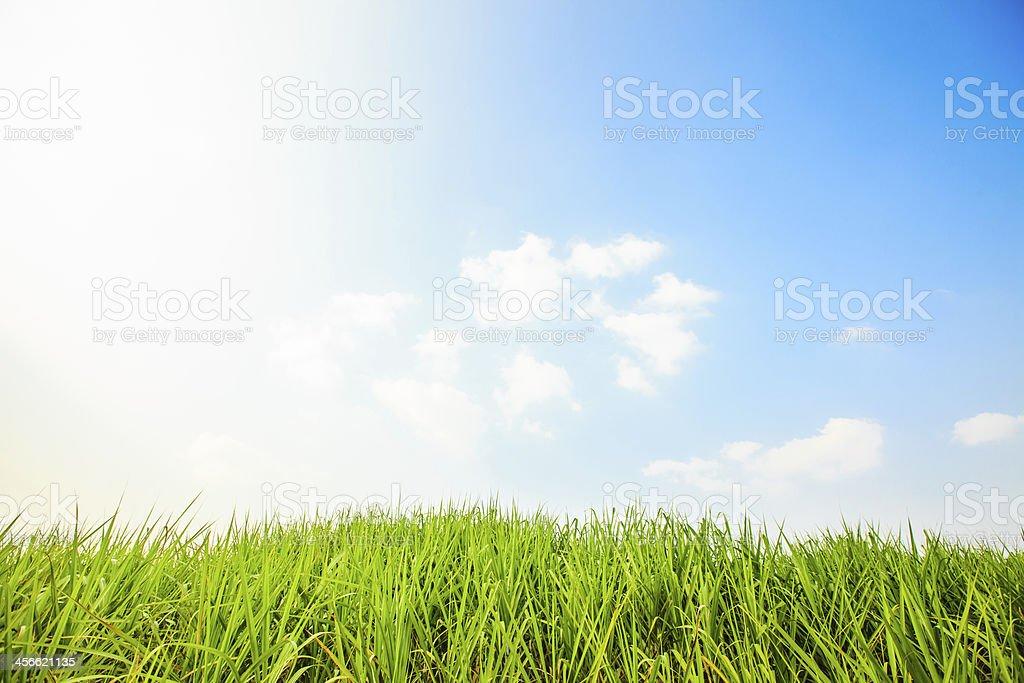 sugar cane farm and clear sky stock photo