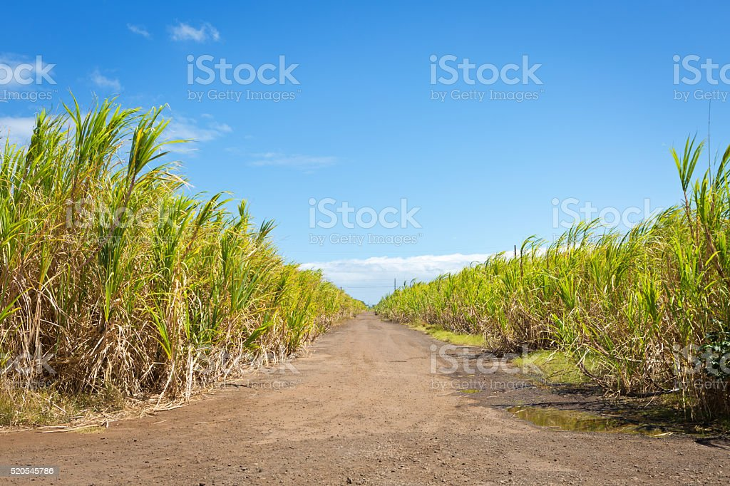 Sugar Cane Farm Field on Maui Hawaii stock photo