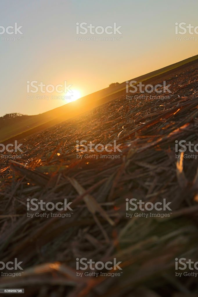 Sugar cane farm - Sunset at the harvest sugar cane stock photo
