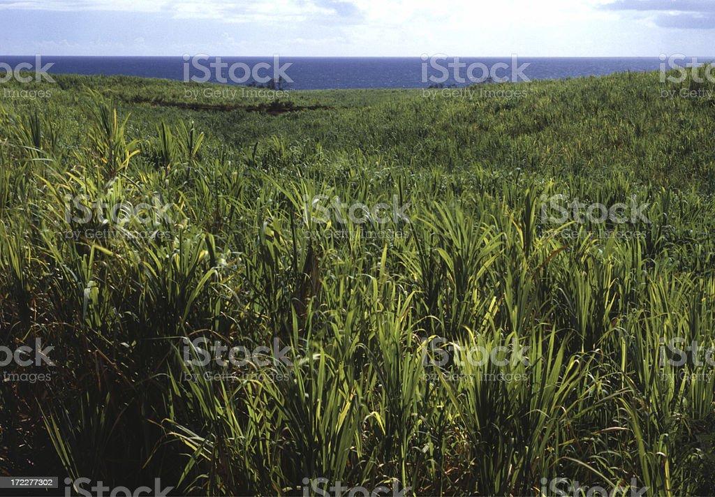 Sugar Cane Field, Maui royalty-free stock photo
