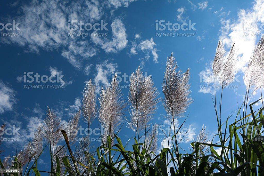 Sugar cane flower Sunrise stock photo