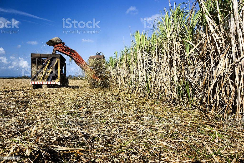 Sugar cane harvest time stock photo