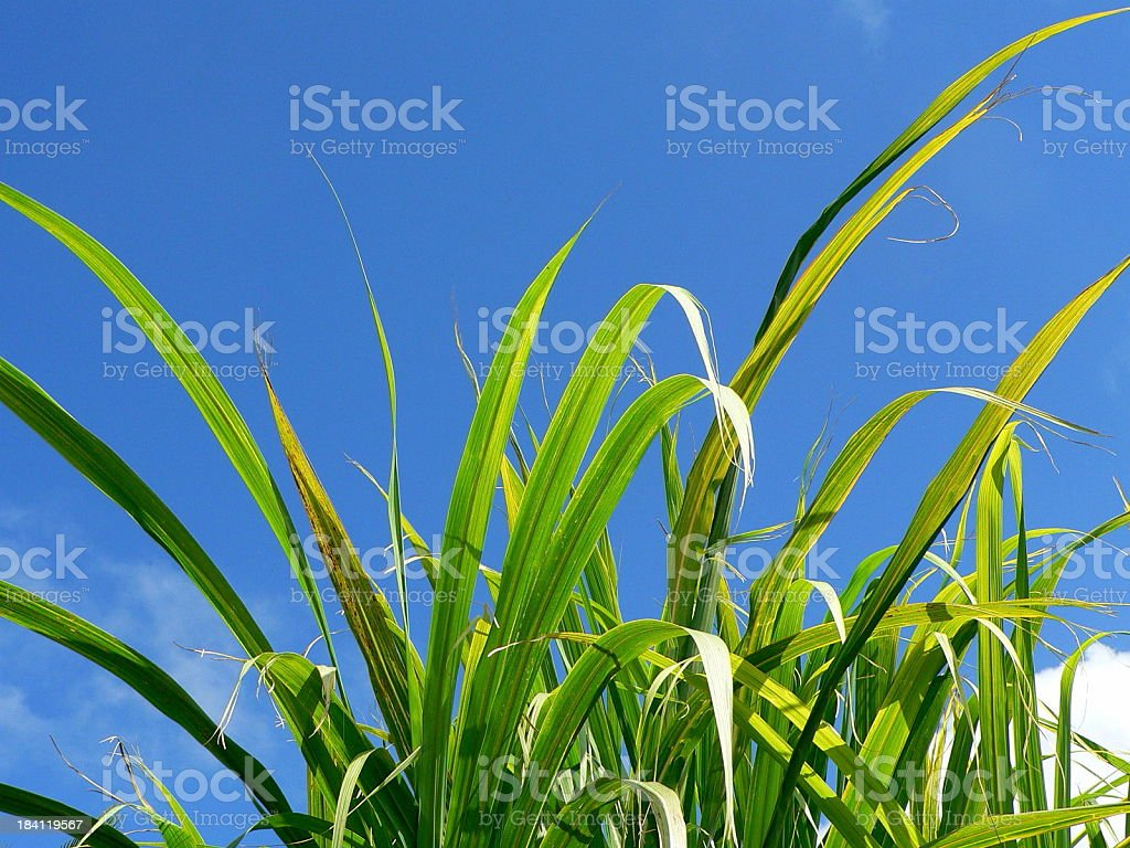 sugar cane royalty-free stock photo