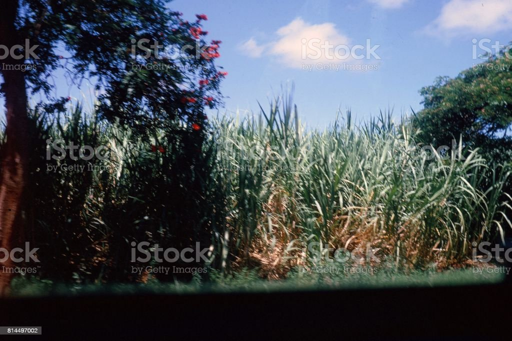 1970 Sugar Cane stock photo