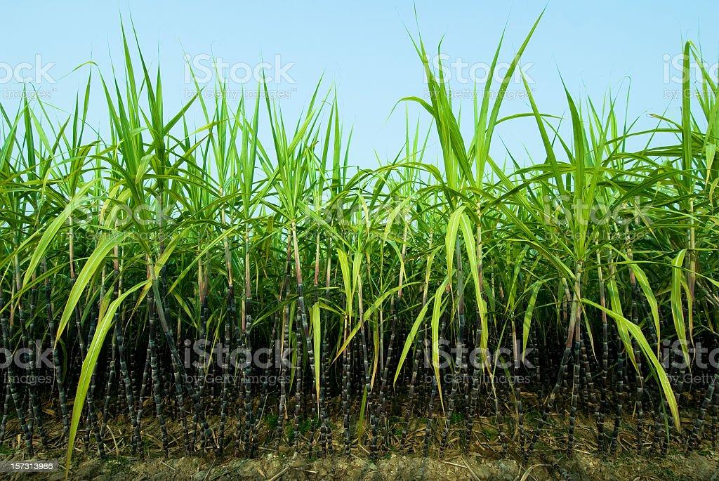 Sugar Cane Plantation stock photo
