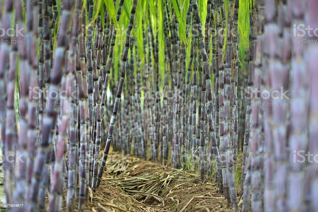 Sugar Cane Plantation royalty-free stock photo
