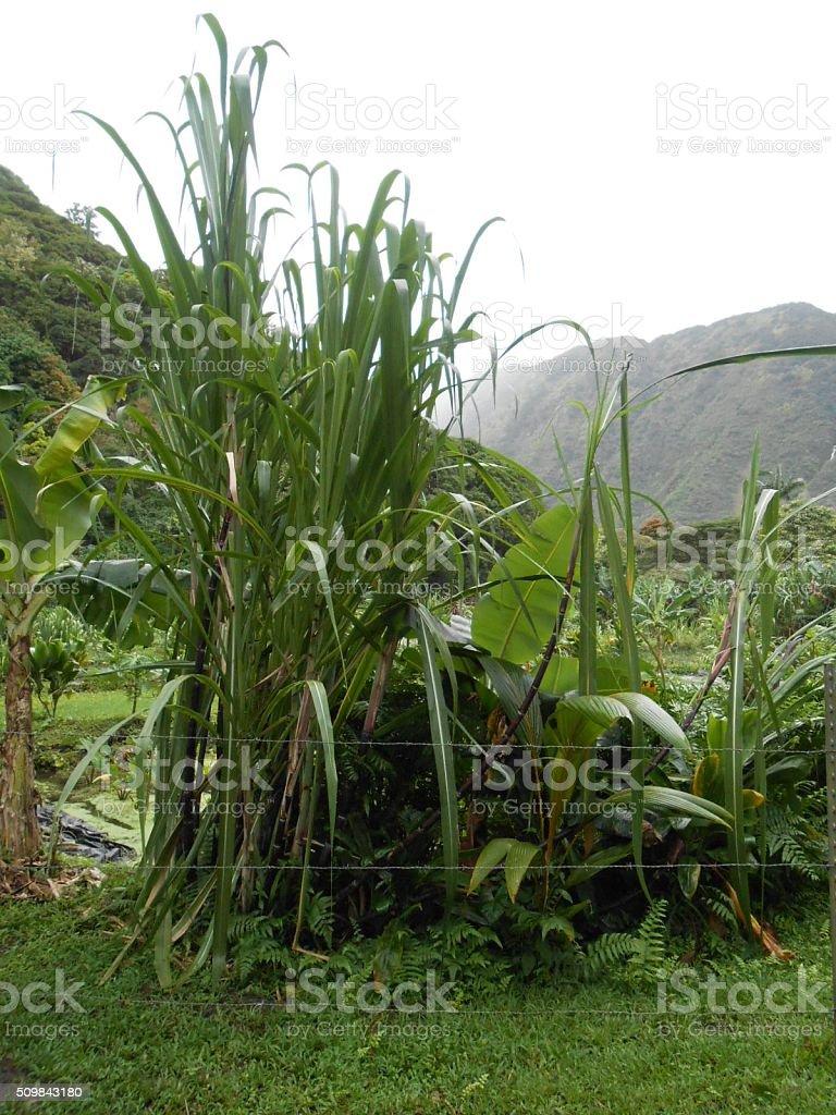 Sugar Cane Plants Growing in Waipio Valley in Hawaii. stock photo