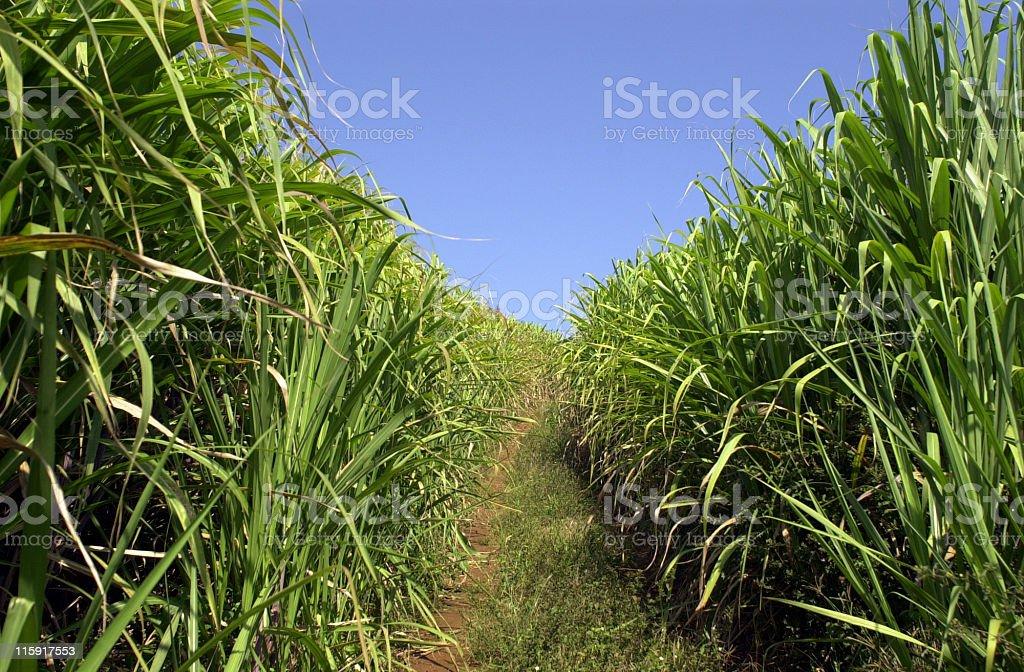 sugar canes 6 royalty-free stock photo