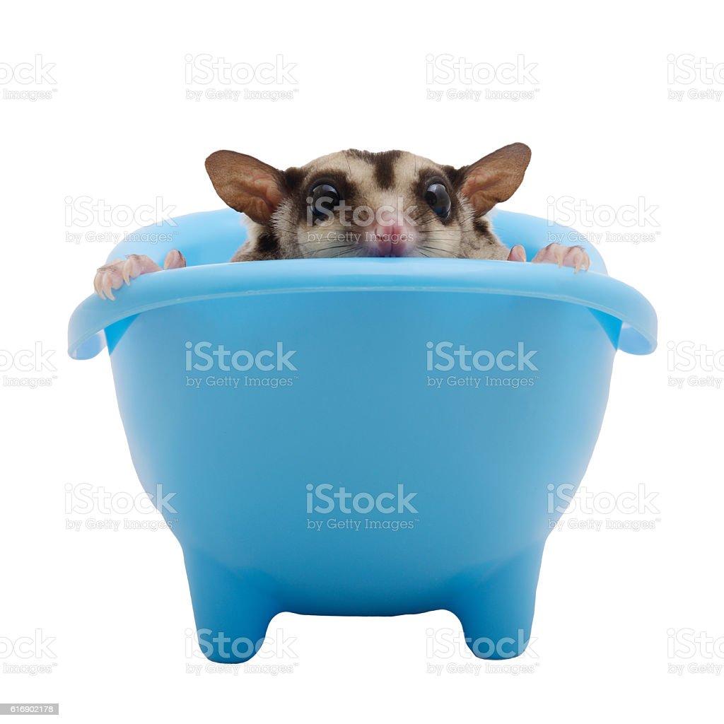 Sugar glider hide in blue bathtub. stock photo
