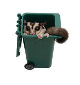 Sugar glider in small garbage bin.