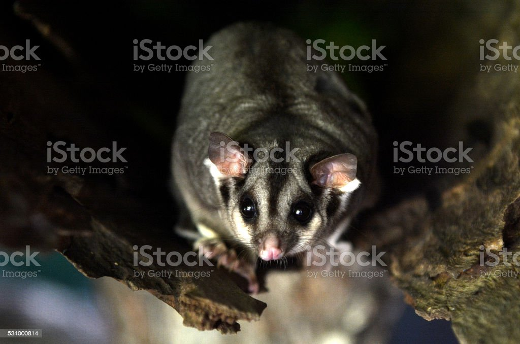Sugar glider live inside a tree log stock photo