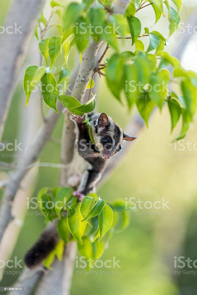 Sugar glider on a tree stock photo