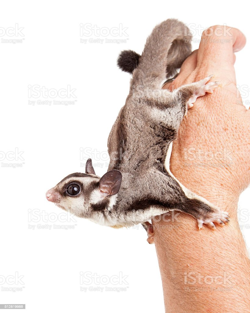 Sugar Glider on Hand of a Man stock photo
