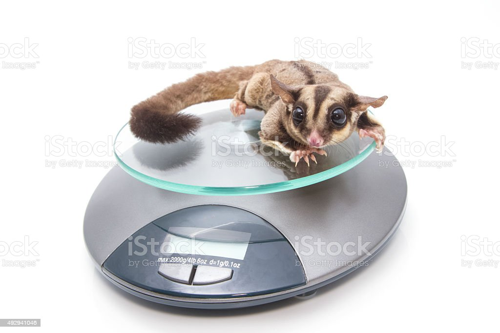 Sugar glider on weigh scales , vet examination stock photo