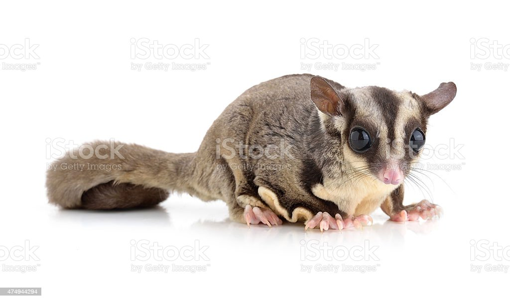 Sugar Glider on white background stock photo