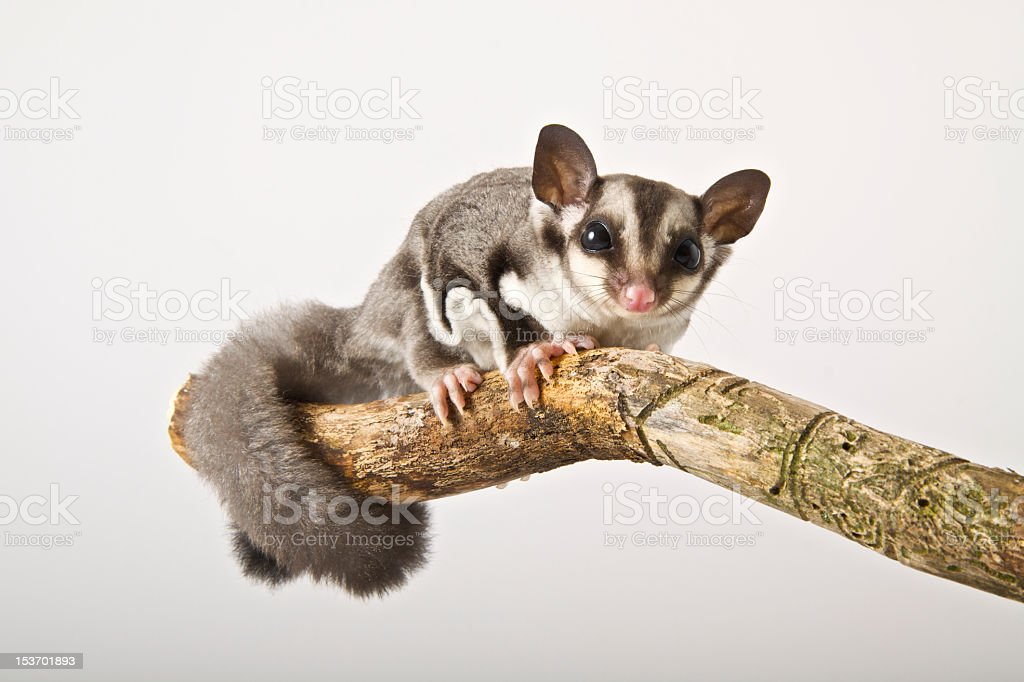 Sugar Glider perched on a branch against a gray background stock photo