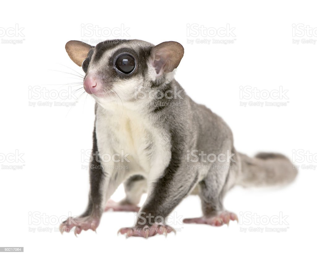 Sugar glider - Petaurus breviceps (3 years old) stock photo