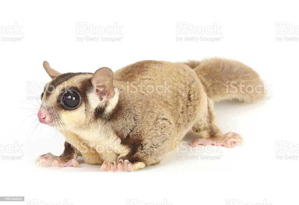 sugar glider royalty-free stock photo