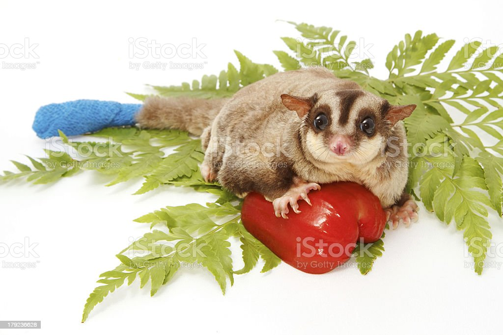 sugar glider sick have  wounded tail  a protective with bandage stock photo