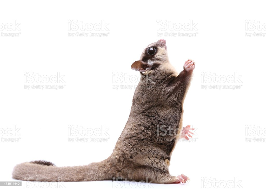 Sugar glider sit and looking up on white background stock photo