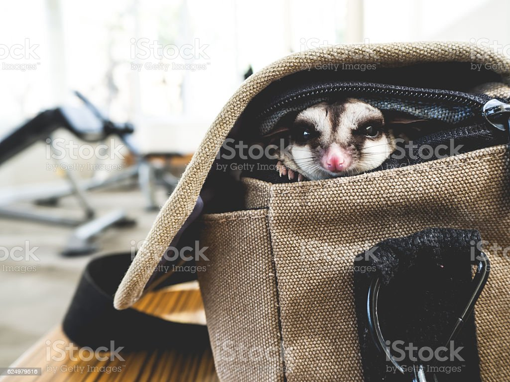 Sugar glider sneaks out of the bag. stock photo