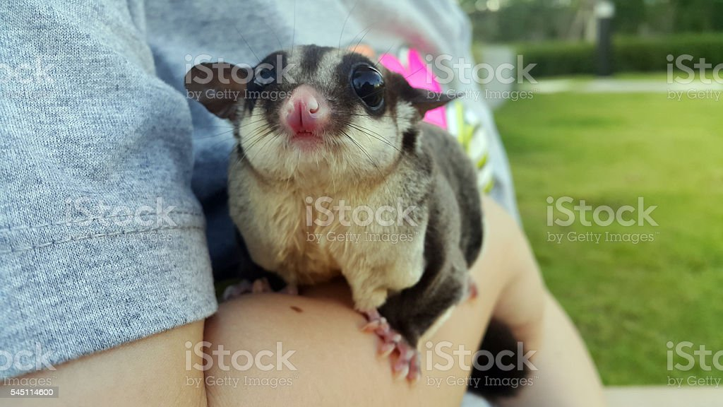 Sugar glider sticking on arm to go chill outside stock photo