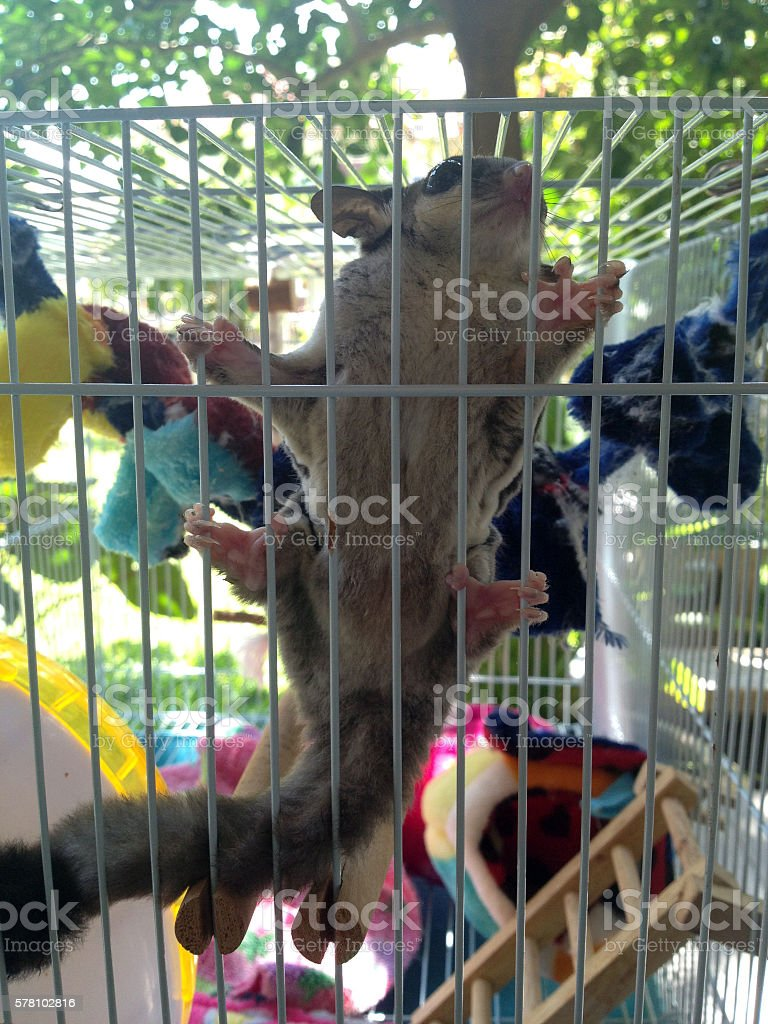 Sugar glider with her toys in the cage stock photo