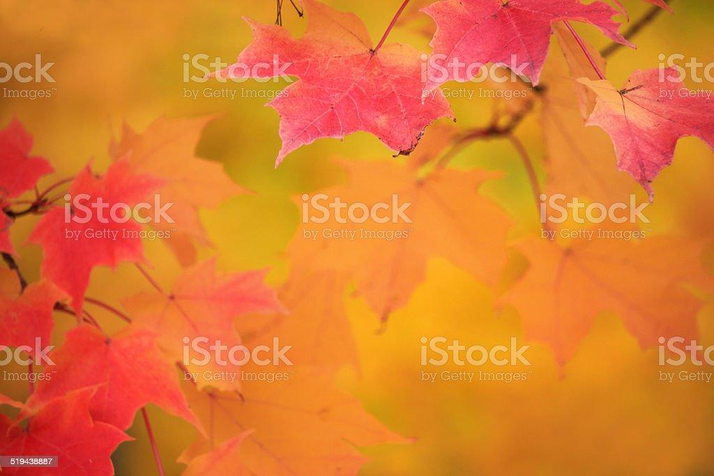 Sugar Maple Background stock photo